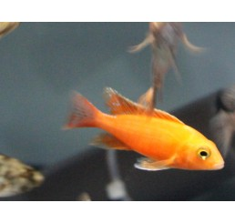 Aulonocara sp. Fire fish