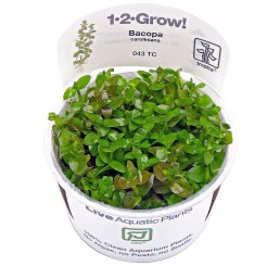 Bacopa caroliniana 1·2·Grow
