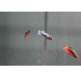 Betta hembra splendens (Betta Velo)