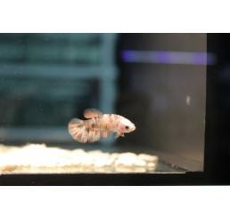 Betta Half Moon Koï (hembra)