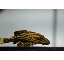Panaque Nigrolineatus L190 – Panaque Real