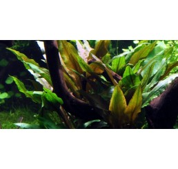 Cryptocoryne undulata / broad leaves