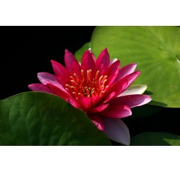 Nymphaea Attraction (flor roja)