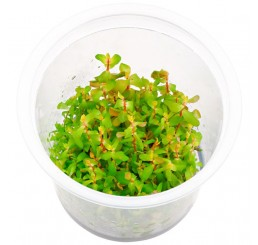 Rotala sp 'Shimoga'  (ADA in vitro) IC224