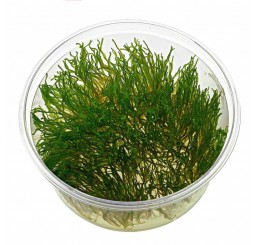 Taxiphyllum Flame Moss (ADA in vitro)