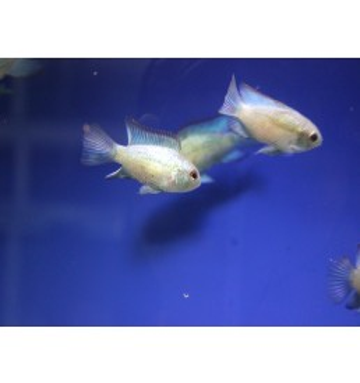 Andionacara pulcher – Acara Azul eléctrico (Mediano)
