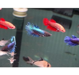 Betta hembra splendens (Betta Corona)