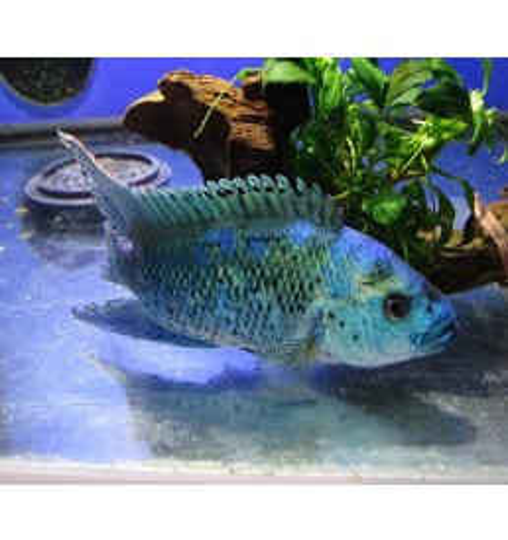 Cichlasoma sp. - Blue dempsey (mediano 8 cm)