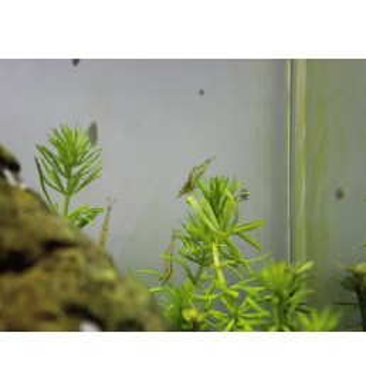 Caridina gracilirostris - Gamba Pinocho nariz roja