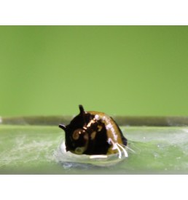 Clithon corona - Caracol Abeja (pequeño)
