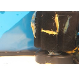 Neocaridina heteropoda – Gamba Yellow Golden Back