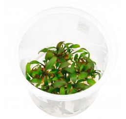 Cryptocoryne walkeri (ADA in vitro)