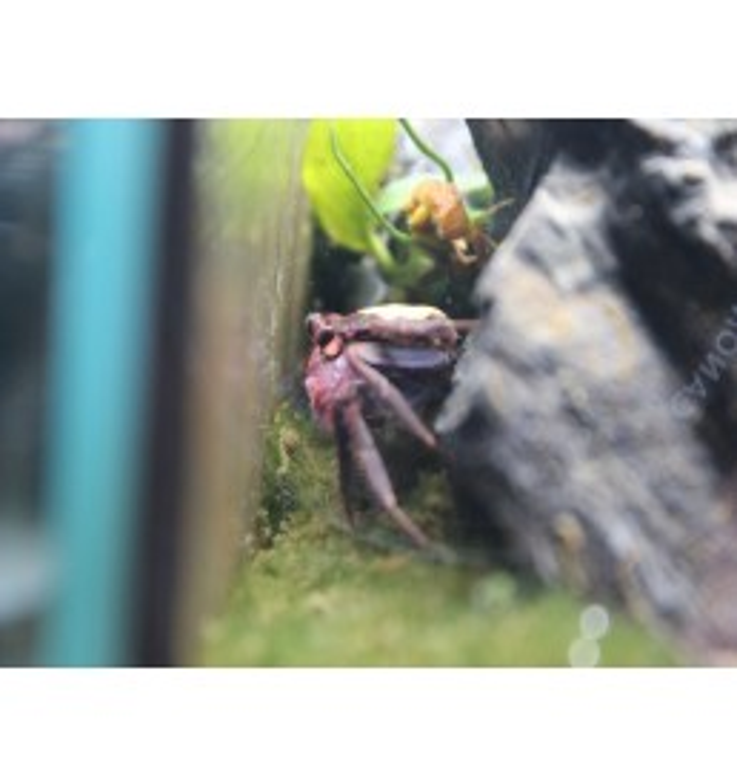 Geosesarma Vampire Purple