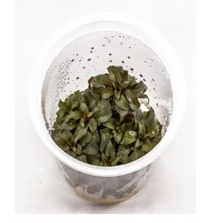 Ludwigia peruensis (ADA in vitro)