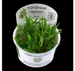 Cryptocoryne wendtii green (in vitro)