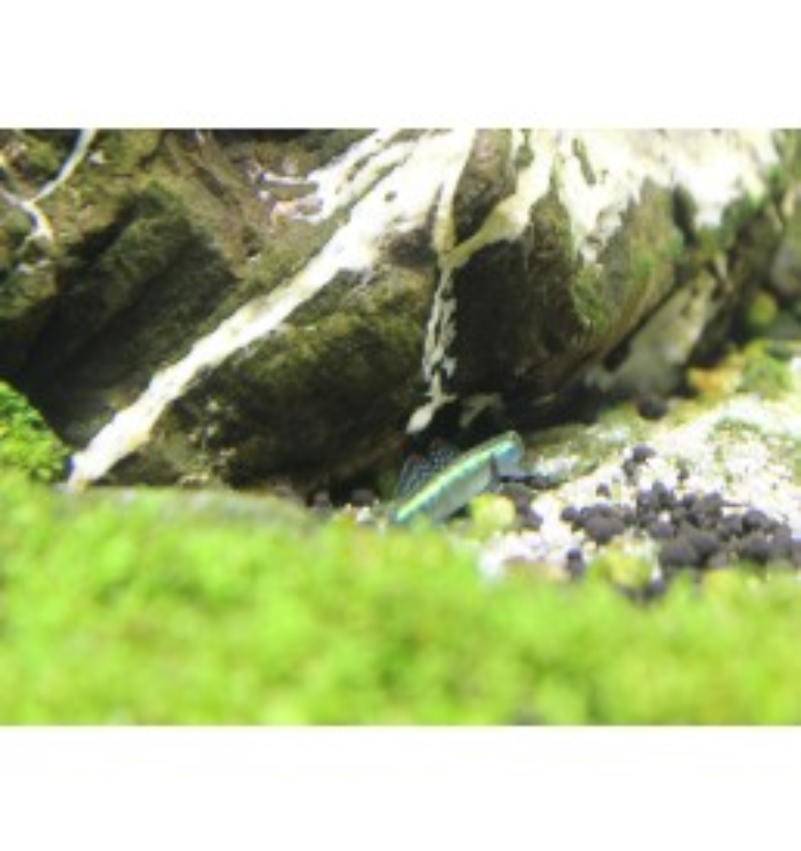 Stiphodon atropurpureus - Gobio azul neon